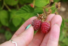 Raspberry Picking !!