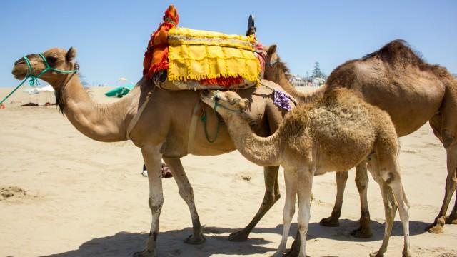 Riding Camels in Mehdiya!